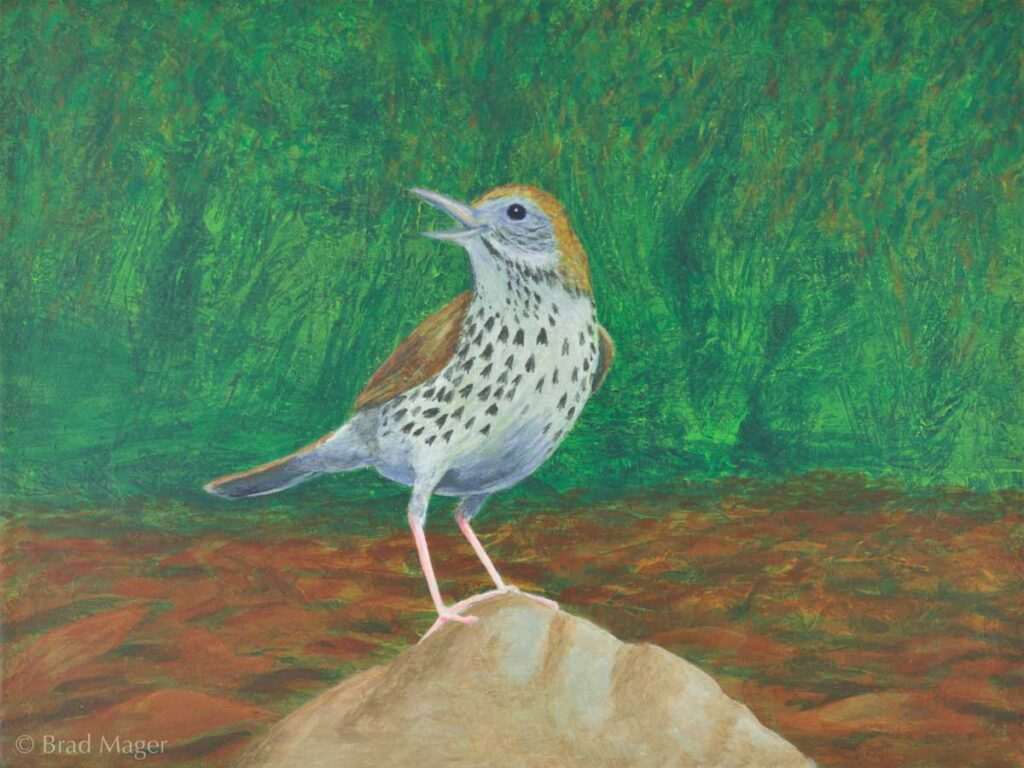 A wood thrush perches on a rock in the forest and sings