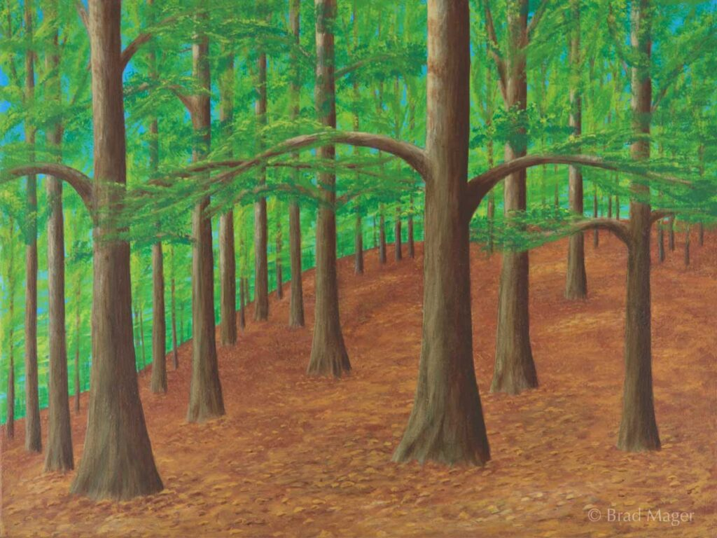 A grove of beech trees